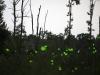 Fireflies at the Fannie Stebbins wildlife refuge, Longmeadow, Massachusetts