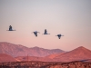 Sandhill cranes at Bosque del Apache National Wildlife Refuge, New Mexico