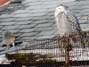 snowy-owl_3817